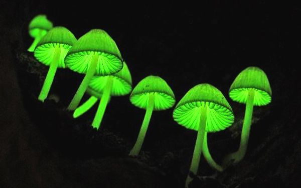 Mycena chlorophos 1