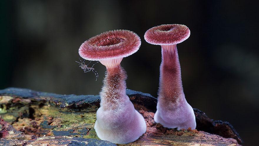 Panus-fasciatus